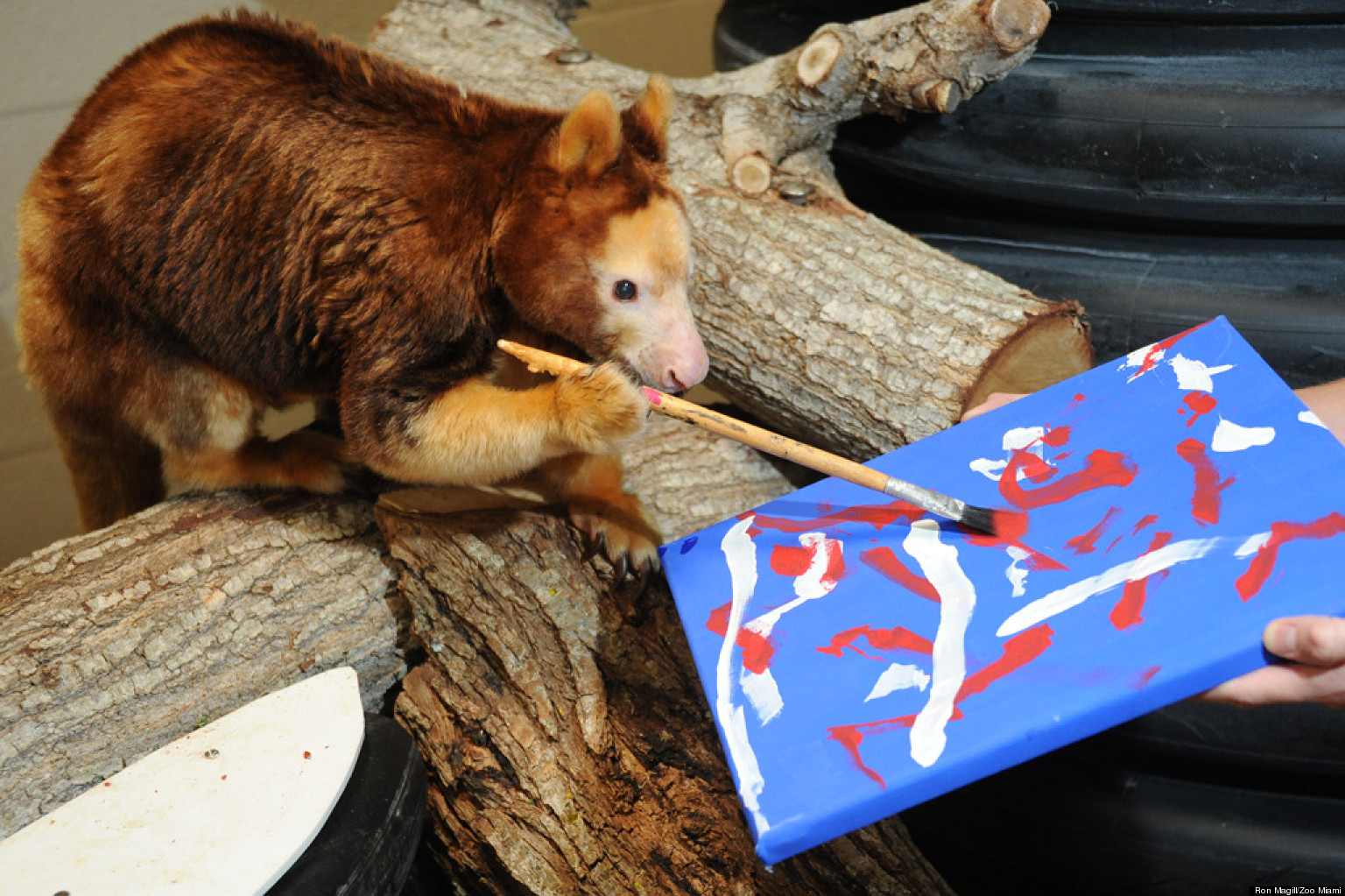 Patty-the-Tree-Kangaroo-daubs-final-touches-on-her-masterpiece-at-Miami-Zoo. Home